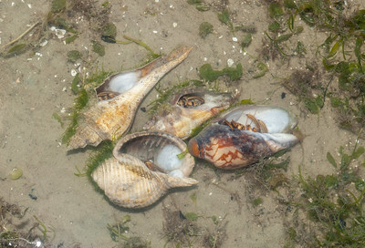 Various shells used by Striped hermit crabs (Clibanarius sp.)