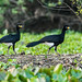 Guans, Chachalacas, and Curassows - Cracidae