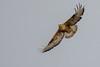 Long-legged buzzard by cradenborg