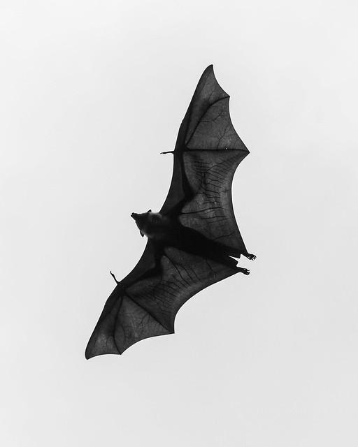 Bat in Kandy, Sri Lanka