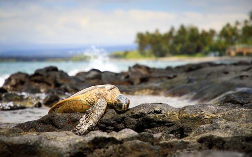 usa beach wildlife northamerica pacificocean turtle sleeping seaturtle hawaii reptile greenseaturtle kiholobay animal america greenturtle pacificgreenturtle thebigisland holualoa unitedstates us