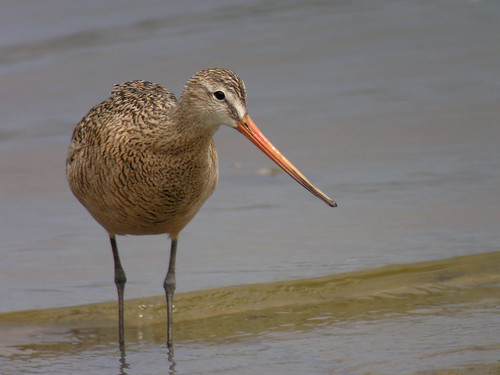 Marbled Godwit - alternate | by Len Blumin
