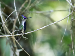 Purple-crowned Plovercrest | by nickathanas