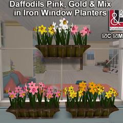 Mix Daffodils in iron window planters