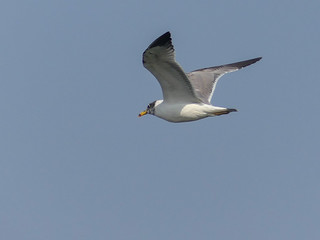 Pallas's Gull | by Mike Prince