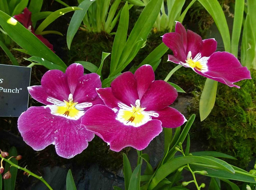 Miltoniopsis Eastern Bay 'Claret Punch' [新加坡濱海灣花園 Gardens by the Bay, Singapore]