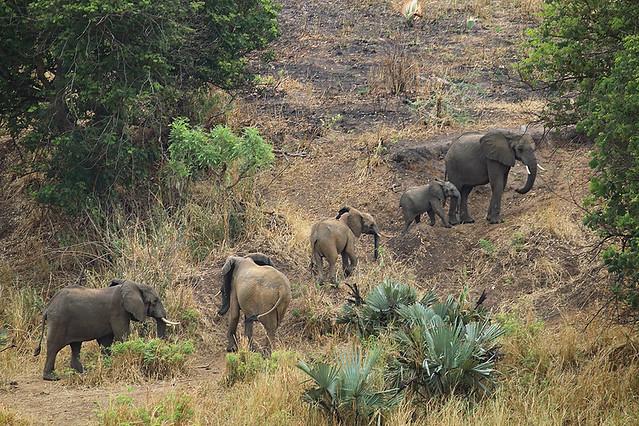 Savanna elephants, Murchison Falls National Park, uganda