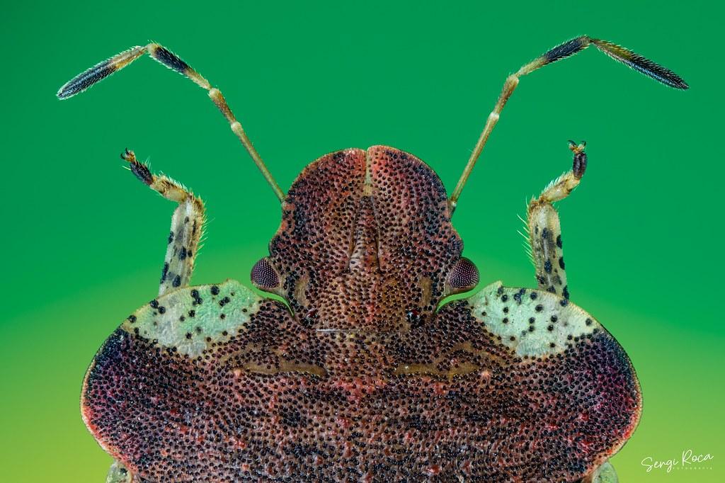 Dyroderes umbraculatus