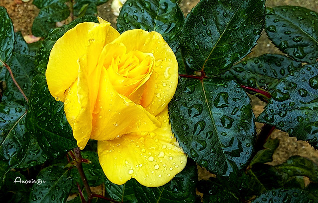 A rose under the rain