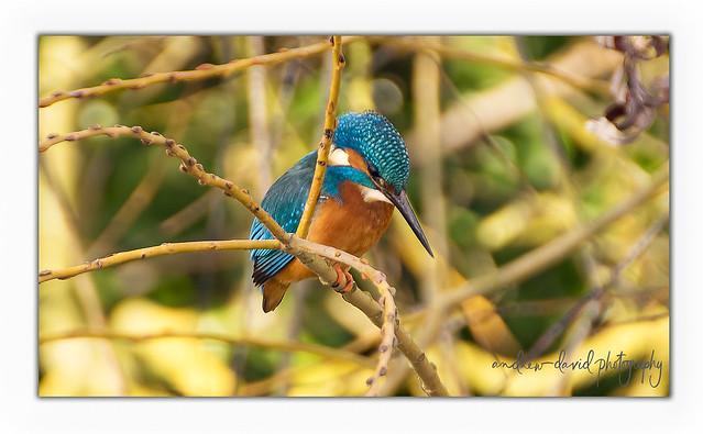 Kingfisher ( Alcedo Atthis )