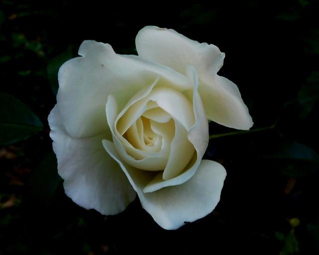 White rose of Astypalia