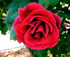 Red rose of Naxos