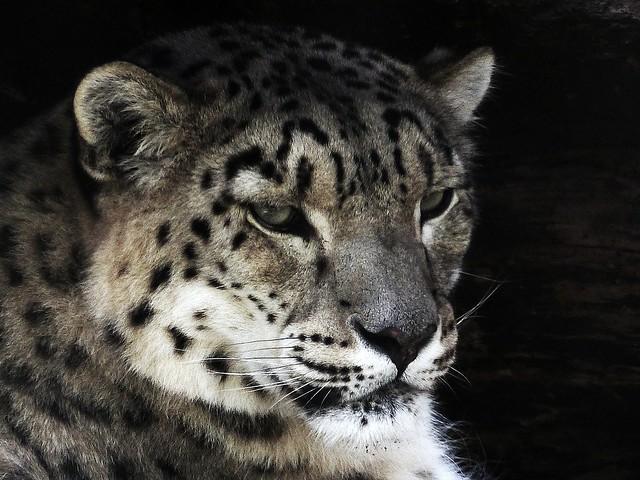 Snow Leopard's Head