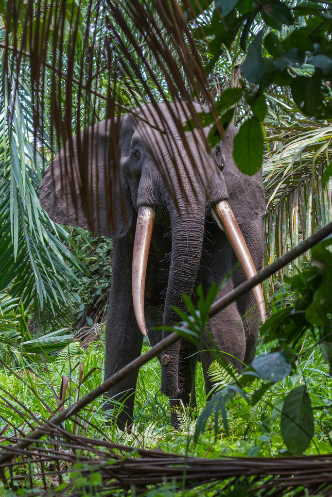 + Close encounter in the rainforest with a huge forest elephant (Loango National Park, Gabon)
