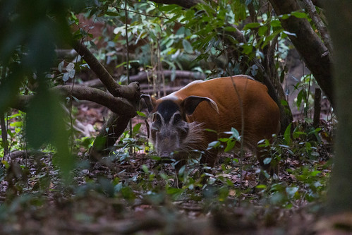 + Red river hogs, Loango National Park (Gabon) | by Free pictures for conservation
