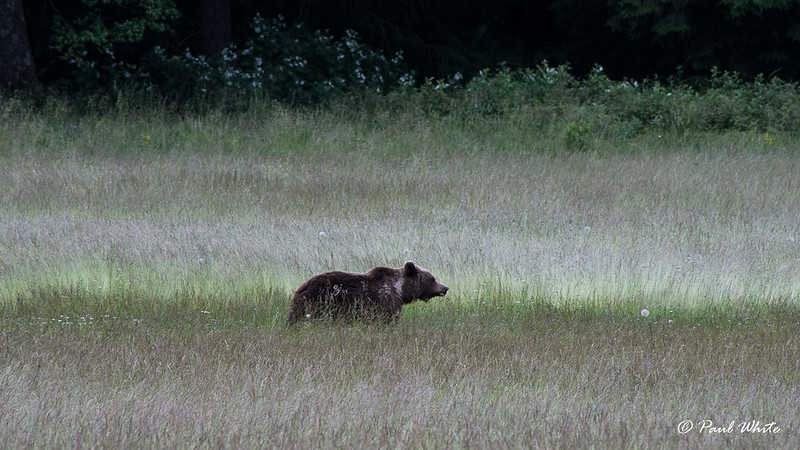 Brown bear crossing meadow in Transylvania