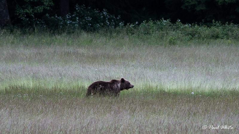 Brown bear crossing meadow in Transylvania