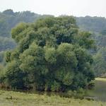 Baum auf überschwemmtem Grund in der Heisinger Ruhraue