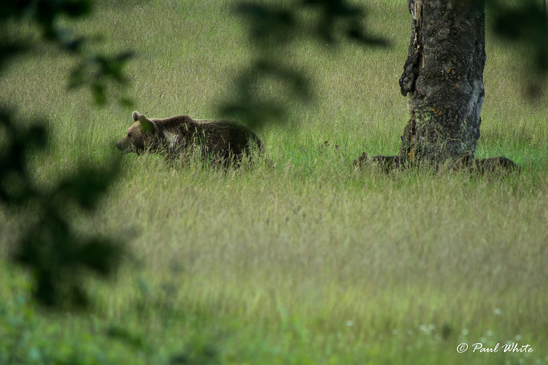Bear sow with cubs