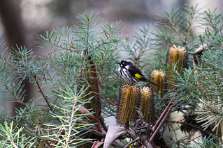 New Holland Honeyeater (Phylidonyris novaehollandiae), Blue Mountains National Park, Australia