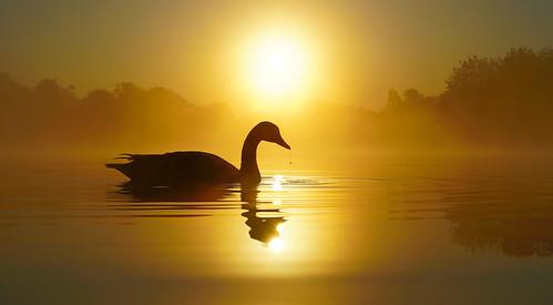narcissus daisynook countrypark failsworth manchester oldham crimelake reflection sunrise dawn brantacanadensis silhouette wake ripples peaceful still spring lakeside