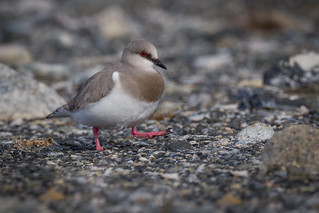Magellanic Plover - Pluvianellus socialis - Chorlo de Magallanes | by Paul B Jones