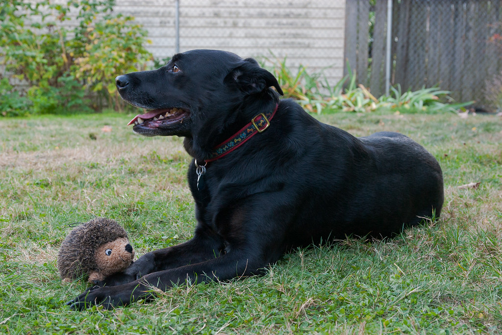 Our dog Ellie lays down with her toy hedgehog in our backyard in Portland, Oregon on October 10, 2009. Original: CRW_9866.crw