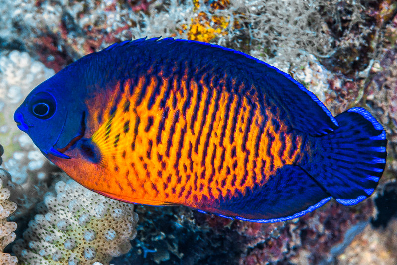 Two-spined Angelfish - Centropyge bispinosa