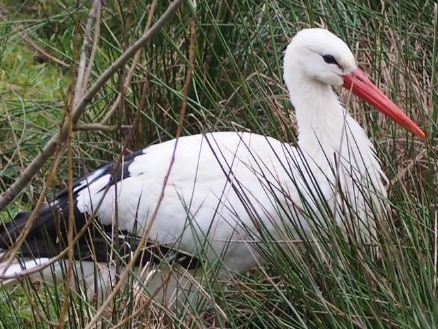 Ein Weiß-Storch auf einer Wiese