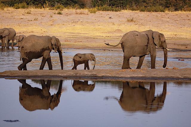 Savannah elephants in Hwange NP in Zimbabwe