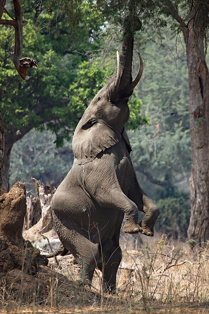 Fred the dancing elephant, Mana Pools NP in Zimbabwe