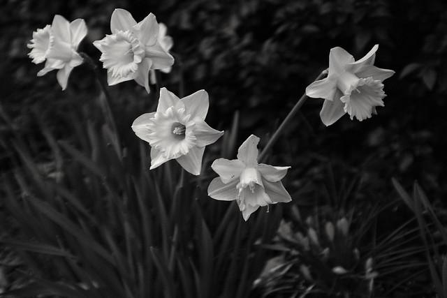 Daffodils, monochrome, Acros filter