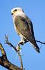 Dickinson's Kestrel, Falco dickinsoni by f_snarfel