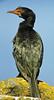 Crowned Cormorant, Microcrabo coronatus by f_snarfel