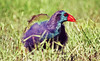 Purple Swamphen, Porphyrio porphyrio by f_snarfel
