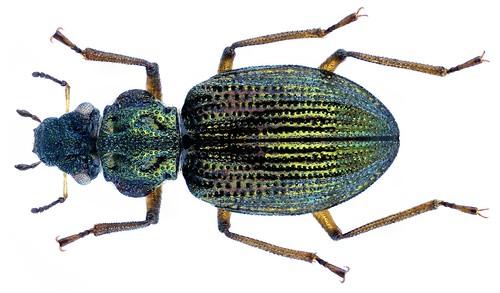 Ochthebius granulatus Mulsant, 1844