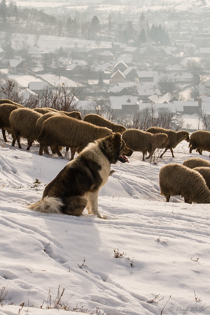 Livestock Guardian Dog (LGD) ever watchful for predators