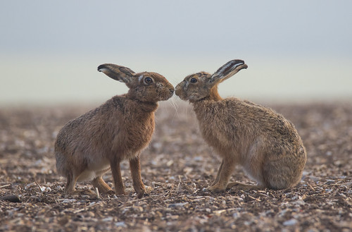 Two hares ( The Kiss )
