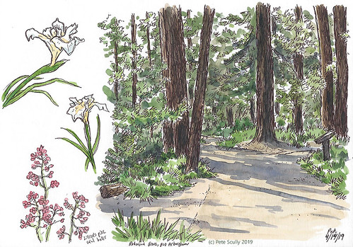 Arboretum Redwoods | by petescully
