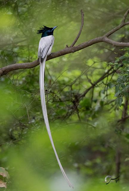 Indian Paradise-Flycatcher (Terpsiphone paradisi)