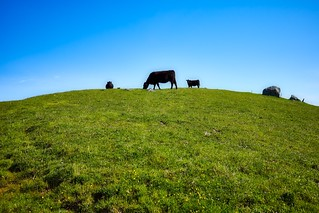 Cattle on the Ridge | by The Digital Story