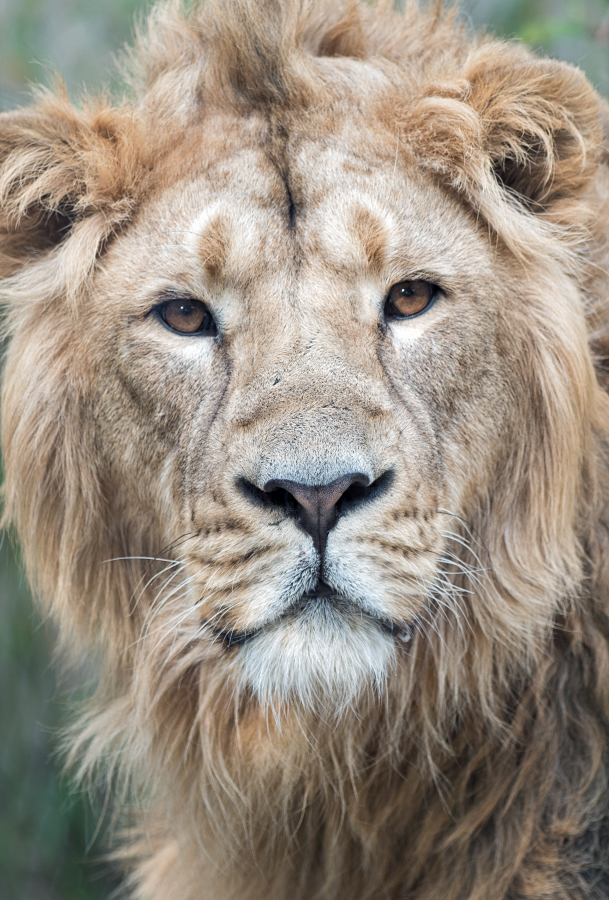 Du lion 32672816567_16ab442e4f_o