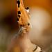 Huppe fasciée Upupa epops - Eurasian Hoopoe