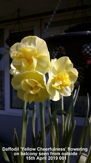 Daffodil 'Yellow Cheerfulness' flowering on balcony seen from outside 15th April 2019 001 | by D@viD_2.011