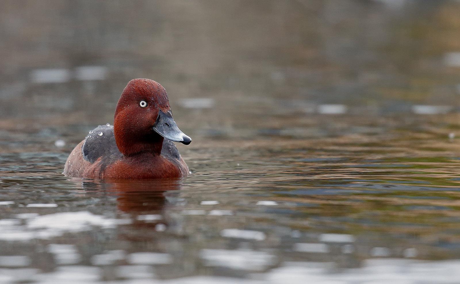 Ferruginous Duck - drake