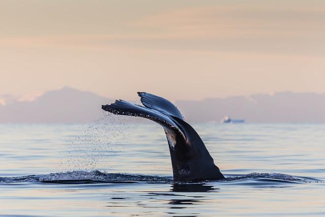 Antarctic Humpback Whale Fluke