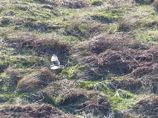 Short Eared Owl. Hunting on Fala Moor 2 | by snodland