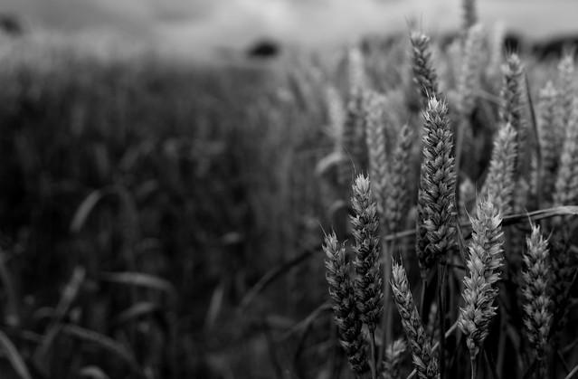 Buckinghamshire cornfield