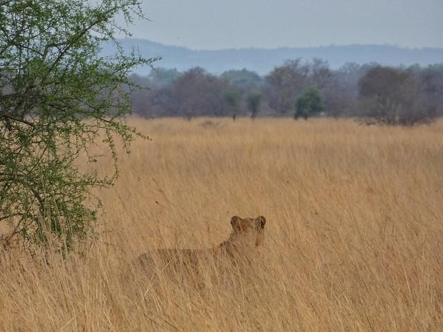León en el Parque Nacional Pendjari de Benín