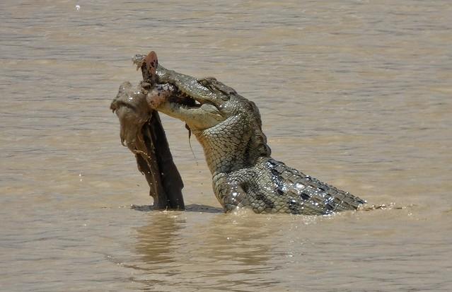 Cocodrilo en el Parque Nacional Pendjari de Benín